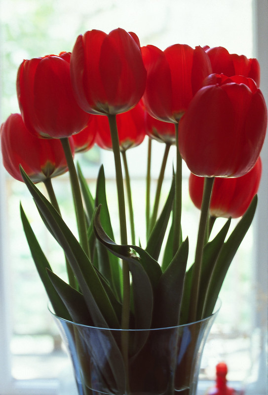 Tulip Light (in Fujichrome Sensia RA100)