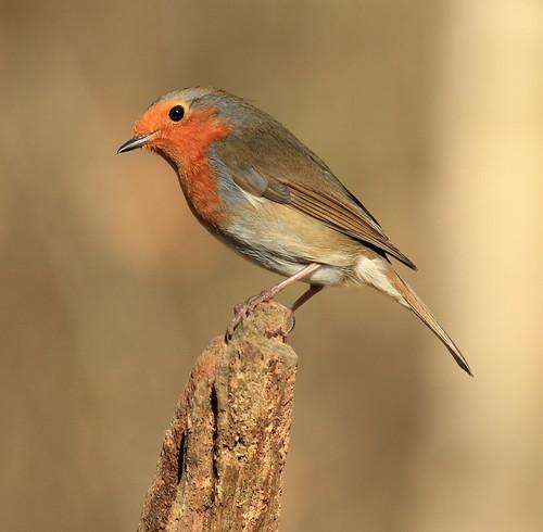 Robin 3198