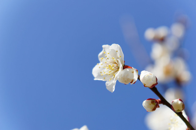 white ume blossoms