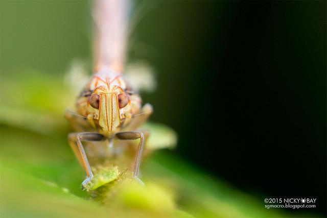 Planthopper nymph (Fulgoromorpha) - DSC_3786