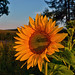 Sunset & sunflower