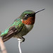 Hummingbird, A Portrait by rmikulec