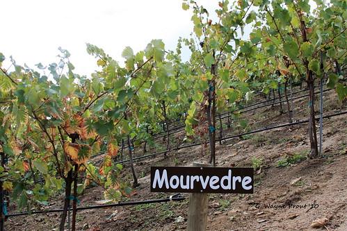 Oak Mountain Winery - Mourvedre Grape Vines
