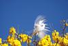 Série com a Garça-branca-grande, no topo do Ipê-Amarelo - Series with the Great Egret (Casmerodius albus, sin. Ardea alba) at the top of the Trumpet tree, Golden Trumpet Tree (Tabebuia [chrysotricha or ochracea]) - 02-09-2015 - IMG_8617