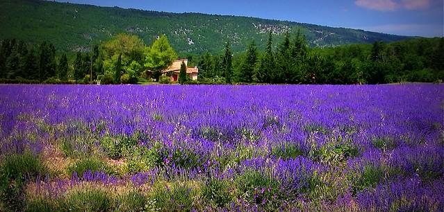 FRANCE, Provence , Lavendelfelder bei Sault, 12195/4314