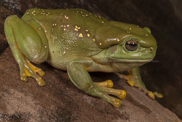 Splendid or Magnificent tree frog (Litoria splendida)