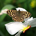 Speckled Wood on Daffodil