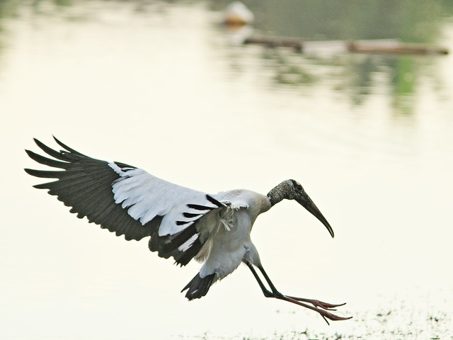 Wood Stork in flight 3-20141229