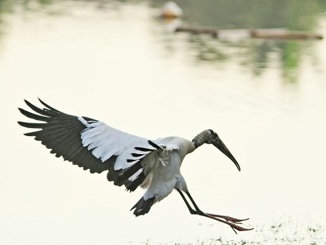 Wood Stork in flight 3-20141229
