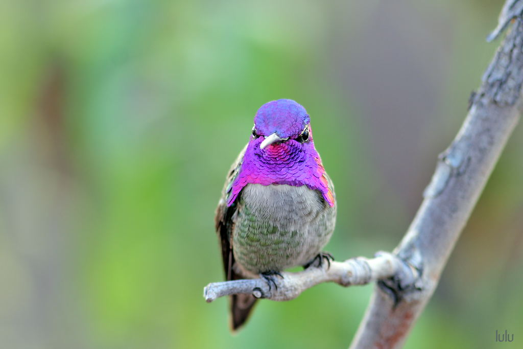 Costa's X Anna's Hybrid Hummingbird-120504