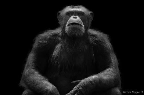 Gorila. En el zoológico Africam Safari. Puebla, México