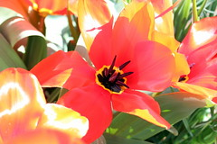 Quinta flower