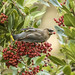 Cedar Waxwing with Toyon Fruit by marlin harms