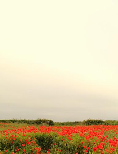 ireland flower countryside spring farm poppy kildare clane
