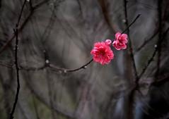 Peach 桃花