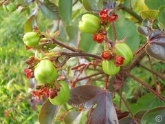 berry(0.0), hardy kiwi(0.0), plant(0.0), produce(0.0), food(0.0), rose hip(0.0), gooseberry(0.0), hawthorn(0.0), evergreen(1.0), shrub(1.0), flower(1.0), tree(1.0), flora(1.0),