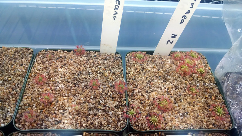 Drosera roseana and Drosera pygmaea.