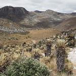 So, 01.03.15 - 10:46 - Frailejones oder Schopfrosetten. DIE prägende Pflanze des Paramo, einer Klimazone der Anden