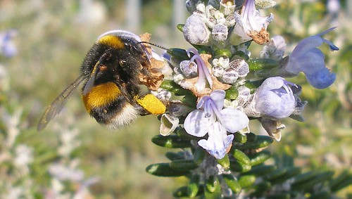 Bumblebee worker on rosemary 3