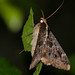 Small photo of Sundowner Moth (Sphingomorpha chlorea)