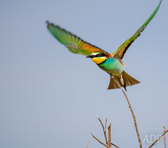 hummingbird(0.0), branch(0.0), pet(0.0), parakeet(0.0), roller(0.0), animal(1.0), yellow(1.0), wing(1.0), green(1.0), fauna(1.0), coraciiformes(1.0), beak(1.0), bird(1.0),