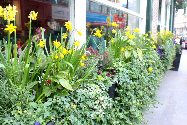 Daffodils outside a pub in Notting Hill, London