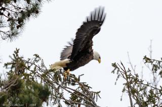 Eagle Spotting - XXXIX