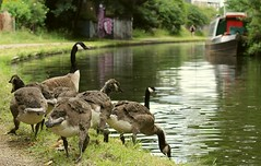 Family of geese on Worcester and Birmingham canal. Kings norton