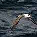 Black-Browed Albatross by naturalturn