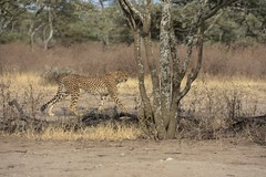 Cheetah in the Ngorongoro Conservation Area (4)