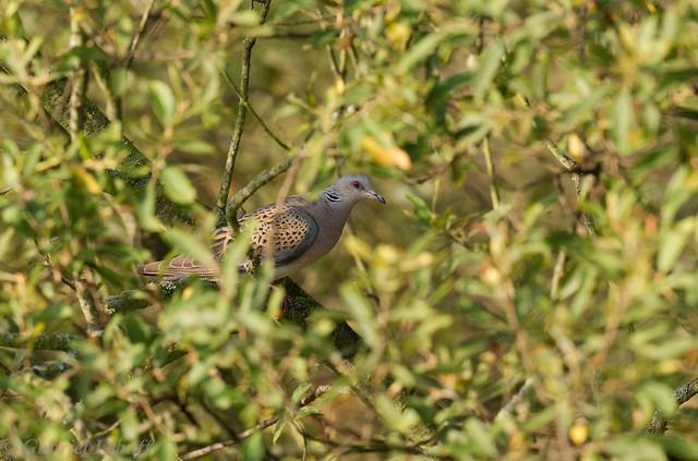 Tourterelle des bois-Streptopelia turtur - European Turtle Dove 5046.jpg