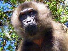 gibbon(0.0), western gorilla(0.0), tufted capuchin(0.0), capuchin monkey(0.0), langur(0.0), white-headed capuchin(0.0), macaque(0.0), ape(0.0), animal(1.0), monkey(1.0), mammal(1.0), fauna(1.0), spider monkey(1.0), old world monkey(1.0), new world monkey(1.0), wildlife(1.0),