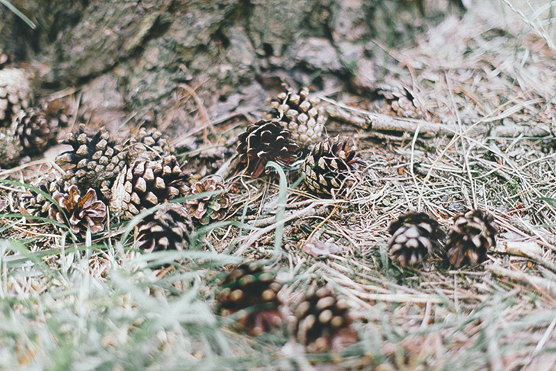 baltic sea pinecones