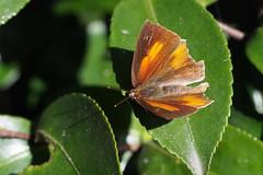 Angled Sunbeam (Curetis acuta)