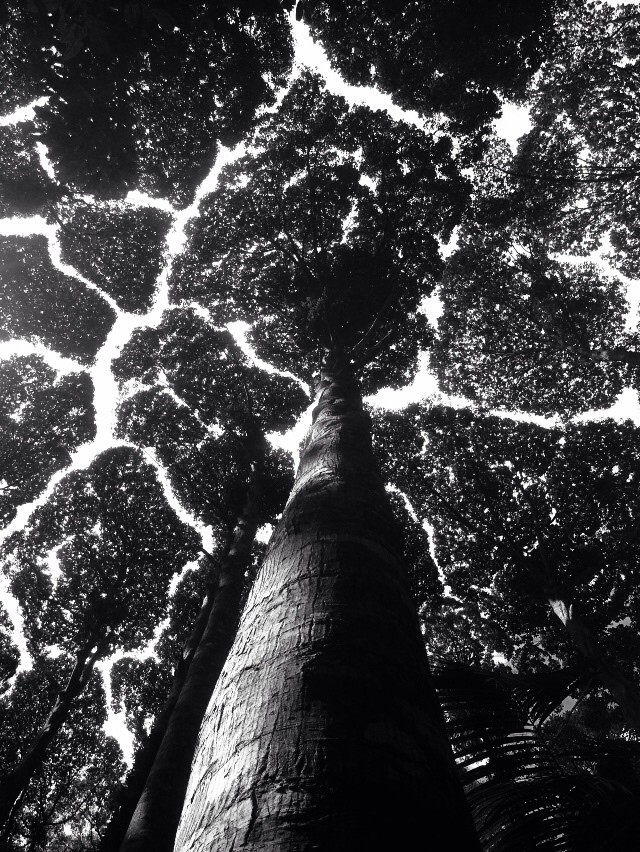 Crown shyness FRIM Kepong