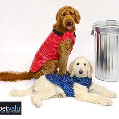 Two of my #furry peeps together! #goldendoodle #standardpoodle #raincoat #models #dogs #petvalu