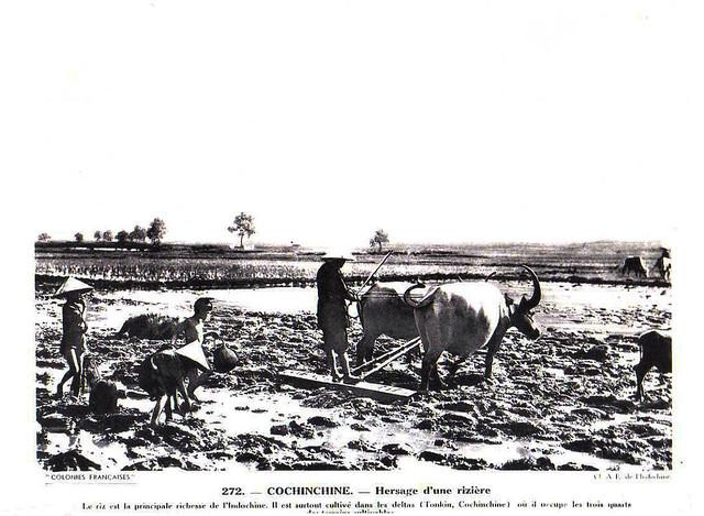 Collection COLONIES FRANCAISES années 1930 - COCHINCHINE. - Hersage d'une rizière. Bừa ruộng ở Nam Kỳ