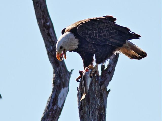 Bald Eagle female with fish 96-20150128