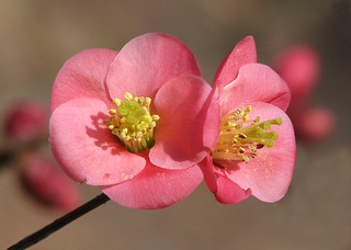 flowering quince dreams