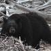 Black Bear, Labrador by joebrazil