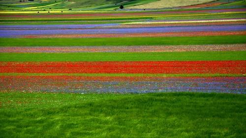 Castelluccio di Norcia - Fioritura 2014