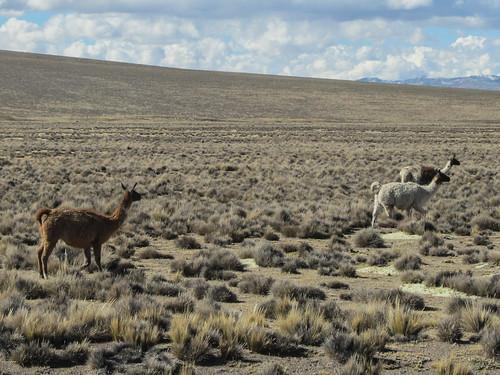 Alentours du Cañon de Colca: des lamas