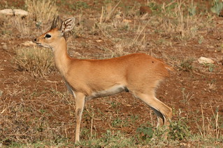 Klipspringer Kruger National Park South Africa