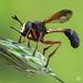 Conopidae by Haris Prin