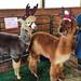 Santa's alpacas