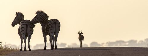 sunrise southafrica zebra impala krugernationalpark mpumalanga krugerpark kruger plainszebra burchellszebra phabeni phabenigate krugersunrise