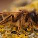 Andrena flavipes, male