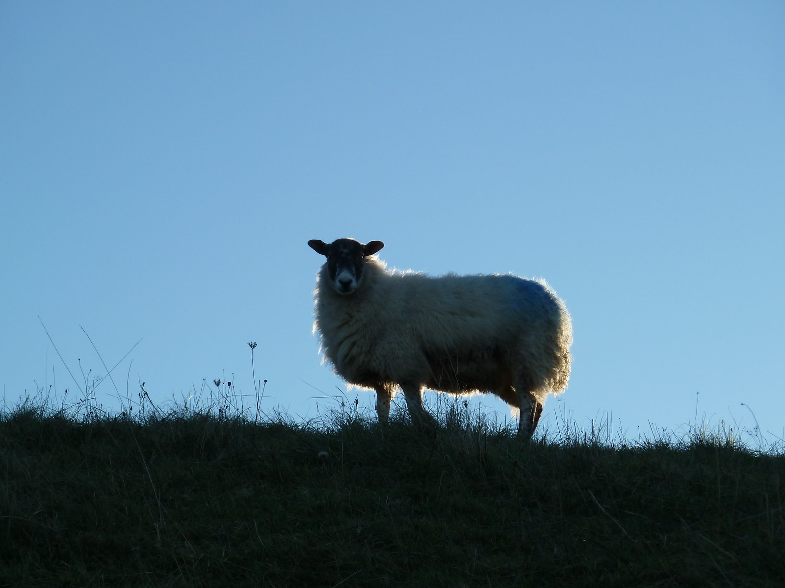 South Downs Sheep (Berwick to Birling Gap)