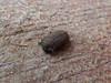 Tenebrionidae>Gonocephalum smplex? Darkling Beetle DSCF5334