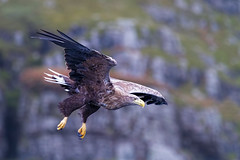 White tailed eagle on Mull Scotland